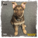 liver-german-shepherd-puppy-zeus