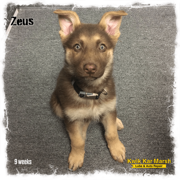 liver-german-shepherd-puppy-zeus