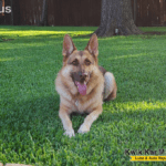 german-shepherd-dog-liver