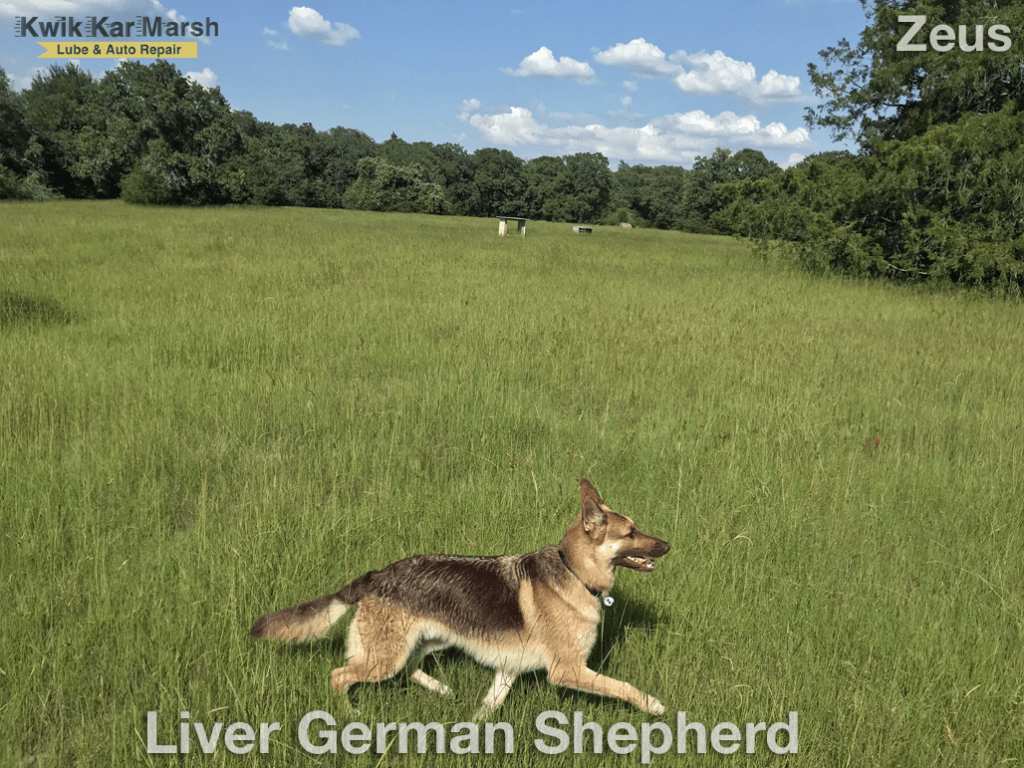 german-shepherd-liver