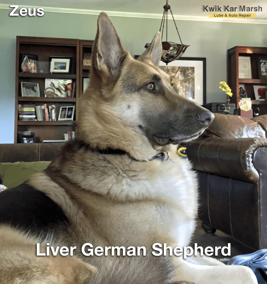 liver-german-shepherd-color