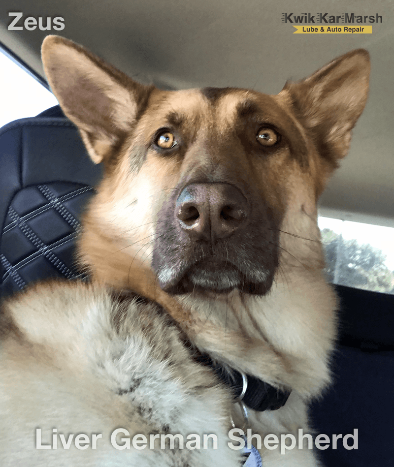 liver-german-shepherd-dog